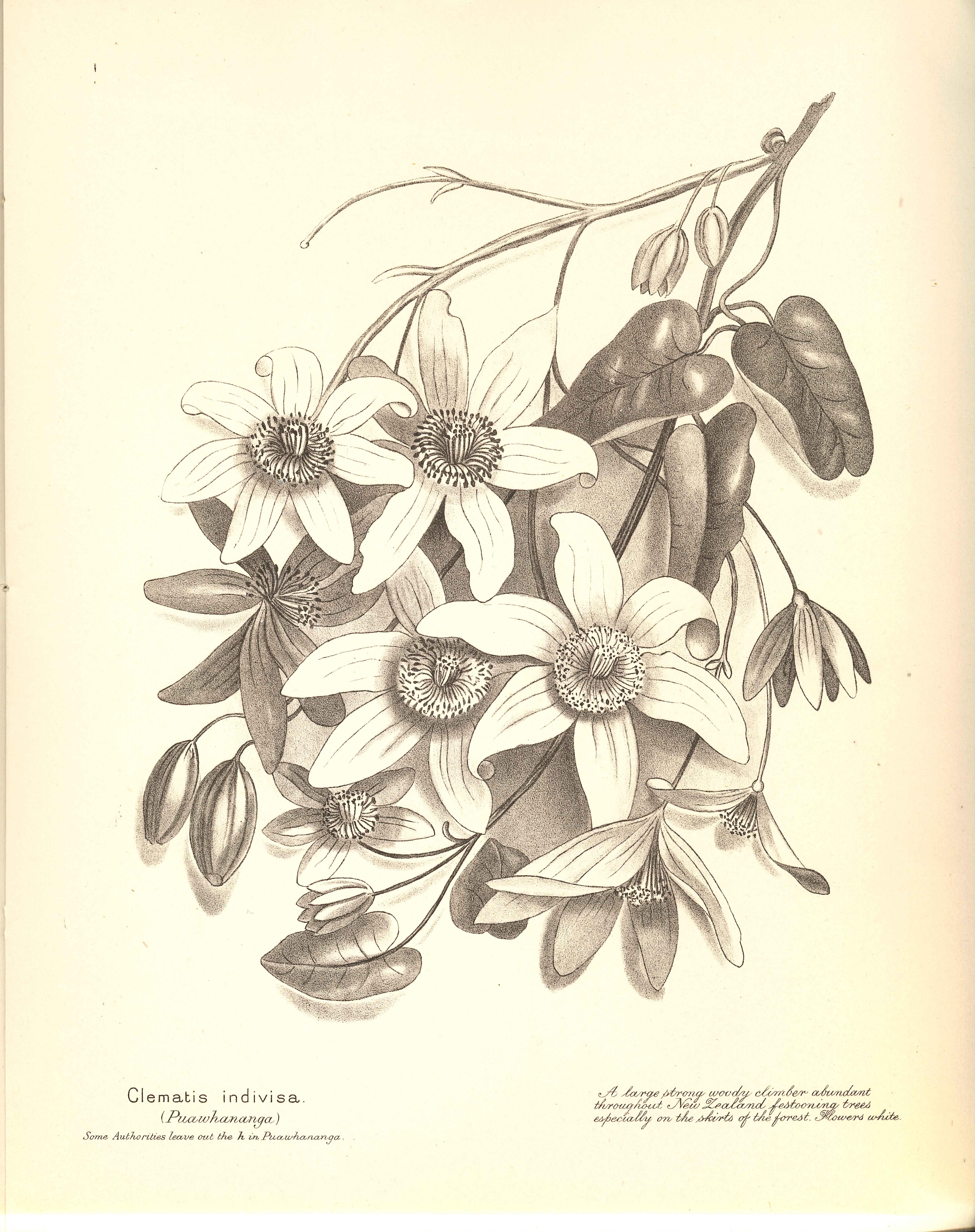 Emily Cumming Harris. New Zealand ferns. Nelson: H.D. Jackson, 1890.
